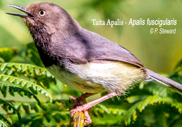 taita-apalis-by-p-steward