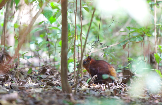 golden-rumped-sengi-by-karin-duthie