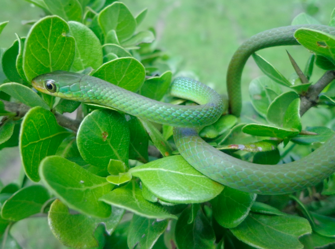 south-eastern-green-snake-by-victor-wasonga