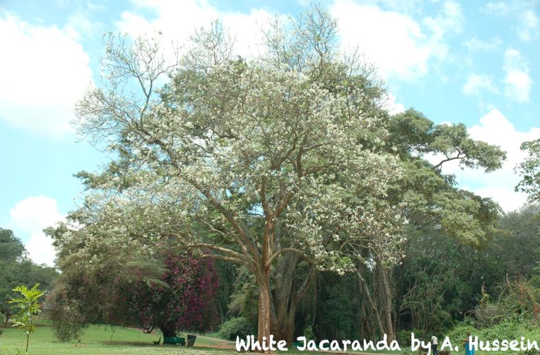 white-jacaranda