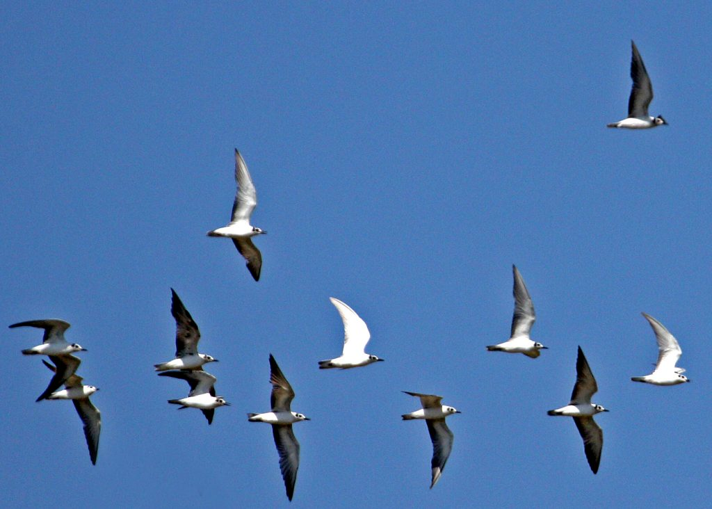 White-winged Terns1 fly