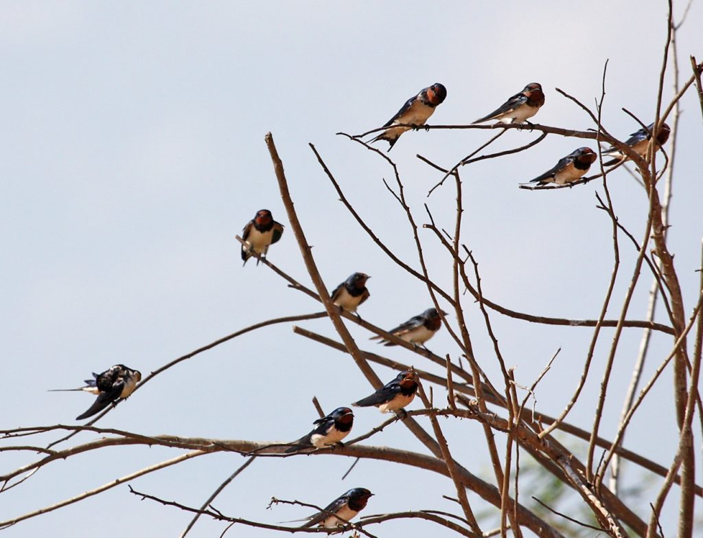 Barn swallows ready to migrate by P Usher