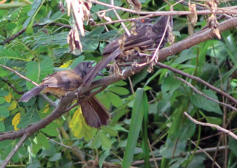 Hinde's Babblers with juvenile2 - photo by S Shemma (2)