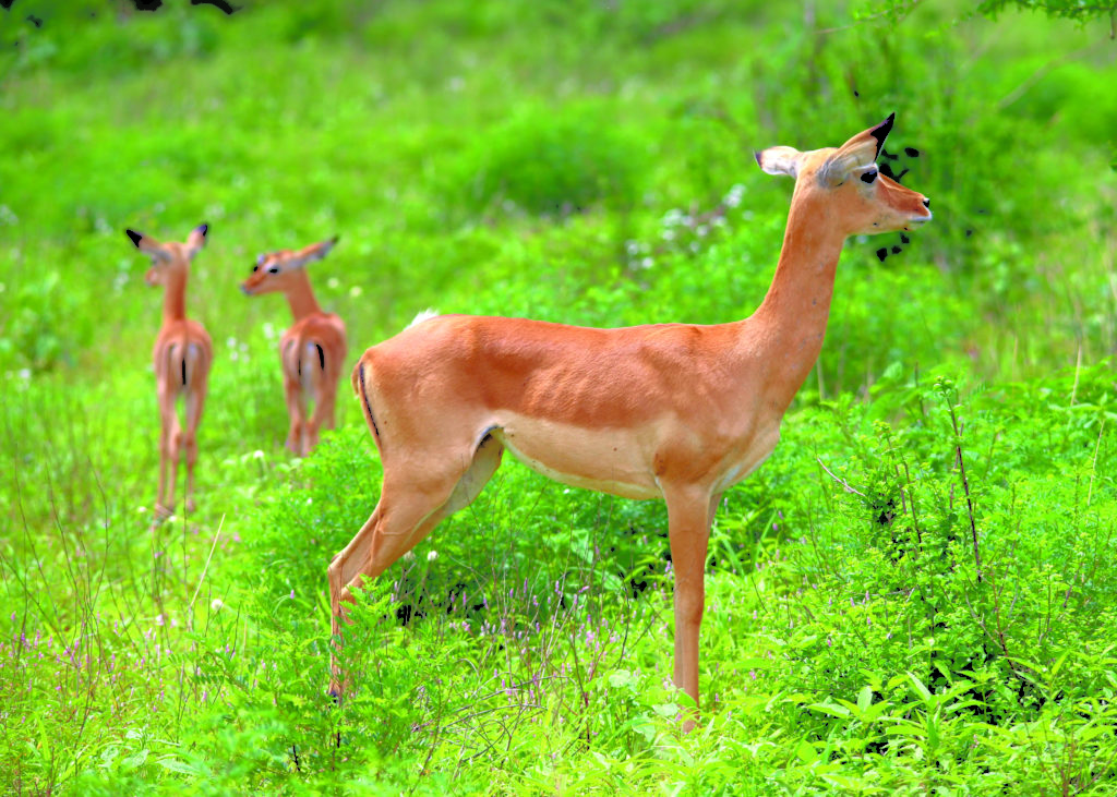 A group of Impalas in Tsavo West National Park. PHOTO: P. USHER