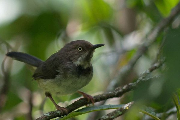 The critically endangered bird Taita apalis bird. PHOTO| RUPI MANGAT