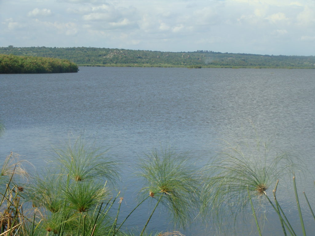 Papyrus reeds, yala swamp