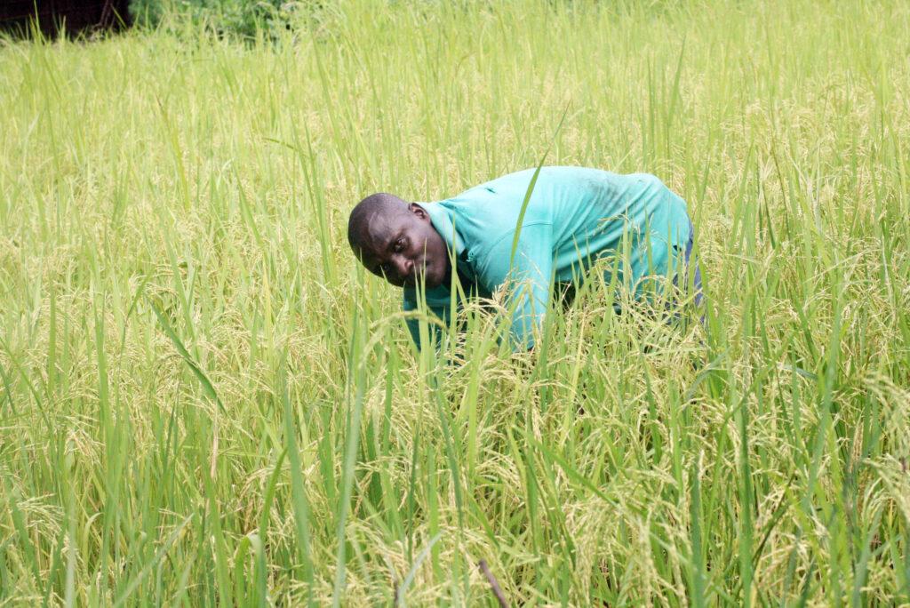 Coast Ozi rice farmerGodhana Chalalu Dhadho (1)