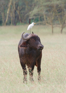 african-cape-buffalo-by-gernard-agwanda