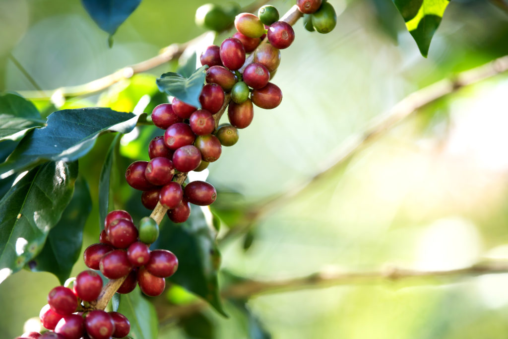 Coffee bean berry ripening on coffee farm. Photo by jcomp - www.freepik.com