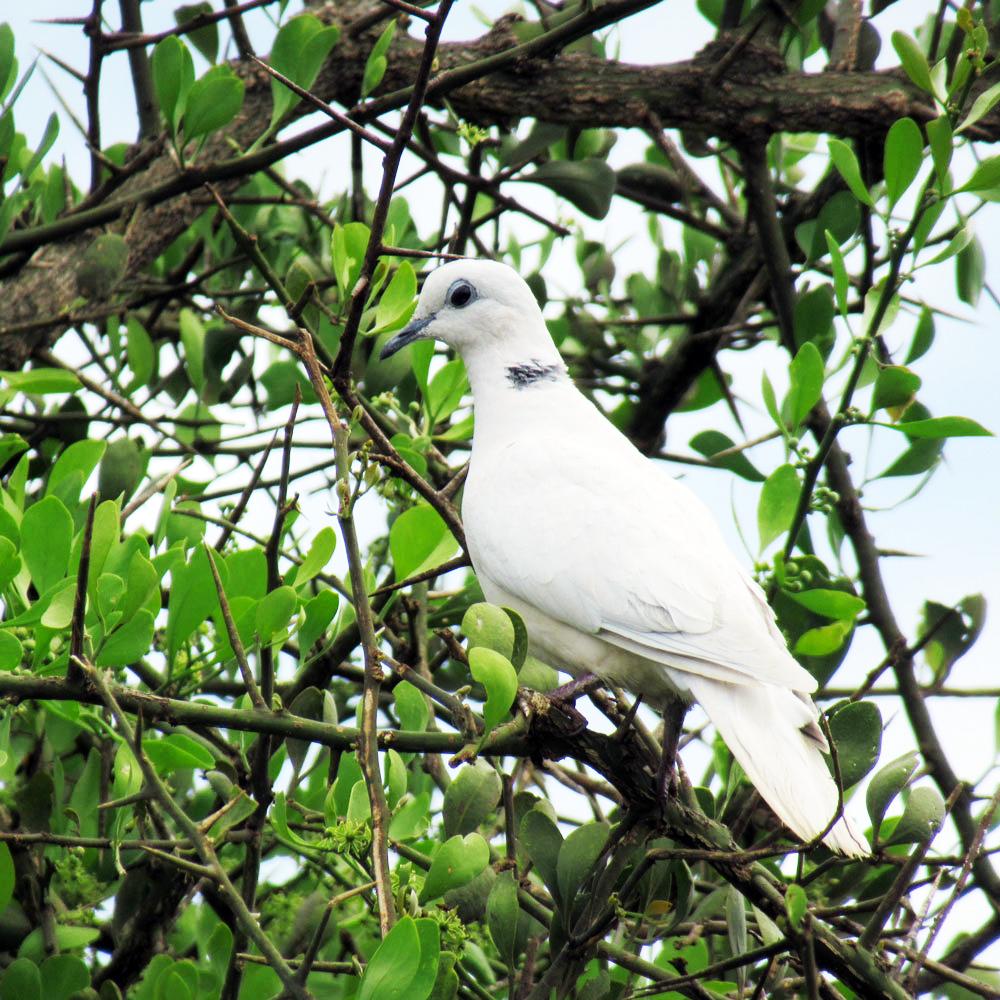 White-Ring-necked-Dove-in-Ilkelunyet-27th-April-2021-(2)