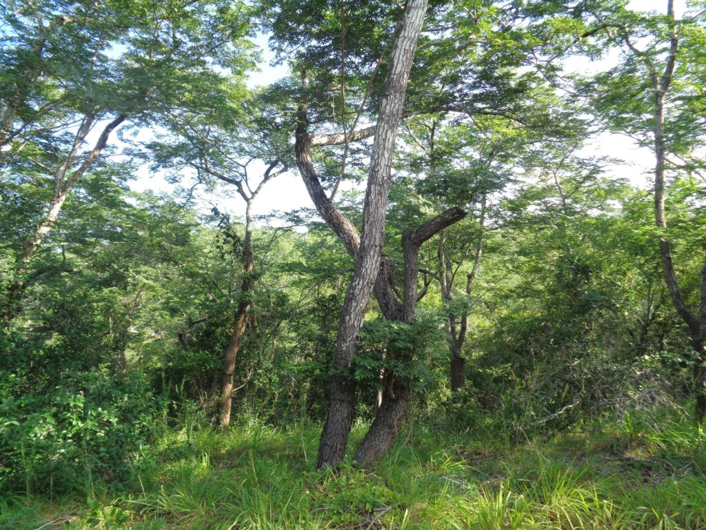 Brachystegia Forest May 2015 by Rupi Mangat 2