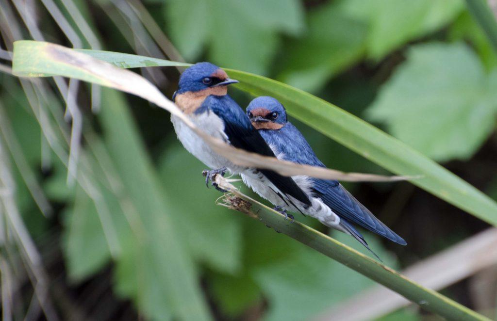 Swallows Yala